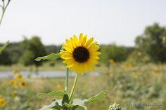 A Sunny Sunflower