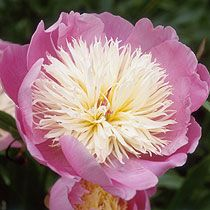 Common Name: Peony  Genus: Paeonia  Species: lactiflora  Cultivar: 'Bowl of Beauty'
