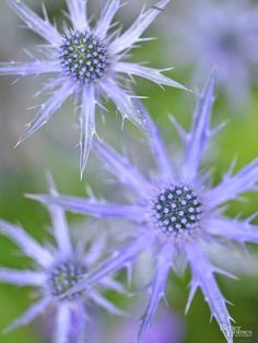 Sea Holly, Eryngium plans, has been a popular cut flower since the Victorian era. It's prized for its stiff steel-blue flowers that hold their color even when dried. Grows 2-3 feet tall and produce armloads of thistlelike blooms from June to September. A sun worshipper that actually does best in dry, sandy soils. If you fertilize or over water Sea Holly, you might end up killing it with kindness. Sea Holly does not transplant well, so avoid moving it once it's established. Zones 5-9