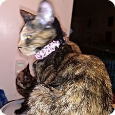 7/2016*Cherry Hill, NJ - Domestic Shorthair. Meet Andrea, a cat for adoption…
