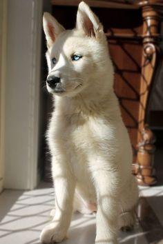 Beautiful blue-eyed white husky puppy. Dog Lover?