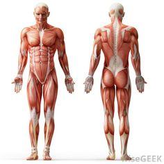 Muscular System Diagram | Medical Anatomy
