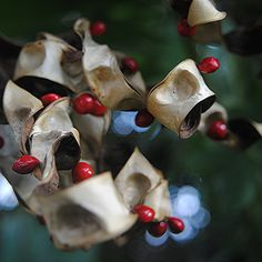 Twisting Coral Bean pods reveal their shiny red seeds