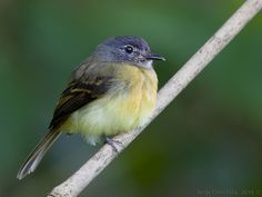 The tawny-chested flycatcher (Aphanotriccus capitalis) is 12 cm long, weighs 7 g & looks like a colourful Empidonax flycatcher in size & structure . It has a grey head with a white throat and white spectacles. The upperparts are olive-green, & the wings are dusky with two bright ochre wing bars & ochre edging to the secondary feathers. The breast is ochre-orange, becoming bright yellow on the belly. Sexes are similar, but females may have an olive tint to the grey head.
