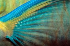 Parrot Fish Fin Close-up