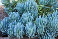 Sticks: One of the Favorite Succulents for Landscape Designs Blue Chalk Sticks has two unbeatable design features going for it: color and texture.Blue Chalk Sticks has two unbeatable design features going for it: color and texture. Landscaping Tips, Plants, Succulents, Garden Shrubs, Succulent Landscaping Front Yard, Native Garden, Garden Supplies, Landscaping Plants, Planting Succulents