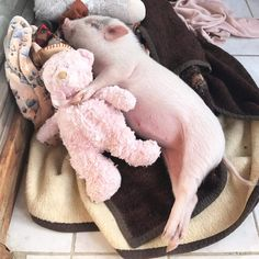 a rescued piglet with all his blankets & stuffed toys he loves to sleep with