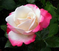 Nostalgie ~ Hybrid Tea Rose