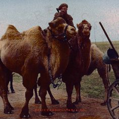 Romanian soldier on camel, eastern Front, date/location unknown - pin by Paolo Marzioli Romania, Ww2, Camel, Army, Animals, Gi Joe, Animales, Military, Animaux