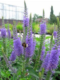 Veronica longifolia 'Blauriesin' (Ereprijs)
