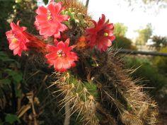 Cleistocactus sepium