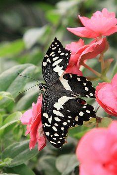 Common Lime Butterfly (Papilio demoleus)