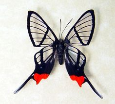 Chorinea faunus The Glasswing Swallowtail Butterfly from Brazil Beautiful Archival Conservation Display