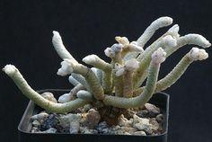 Avonia (anacampseros) albissima