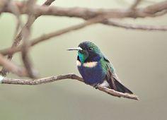 Augastes scutatus) por Luiz Ribenboim   Wiki Aves - A Enciclopédia das Aves do Brasil