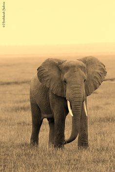 African Elephant by Hrishikesh Sabnis on 500px
