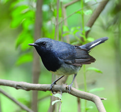 Blackthroat or Black-throated Blue Robin. A rare bird that breeds in stands of Bamboo in China.