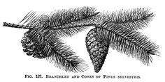 Scots tree pine cone illustration, vintage botanical engraving, pine cones on branch, black and white clip art, cone pinus sylvestris