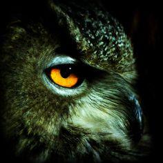 Eagle Owl Squared 4X4 Photo Raptor Bird of Prey Falconry by elinay, $8.88