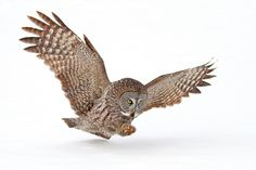 """Target Acquired - Great Grey Owl - To purchase prints, cards, pillows, shirts and more you can visit <a href=""""http://www.redbubble.com/people/darby8"""">www.redbubble.com/people/darby8</a> © Jim Cumming"""