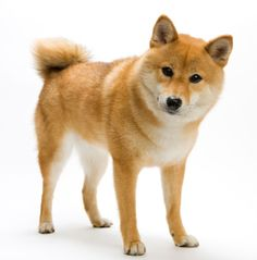 Shiba Inu :D The Shiba Inu is a unique breed. Intelligent, active, energetic, they think pretty highly of themselves. They are famous for their spirited boldness and independent nature. If you are not careful, they will train you.
