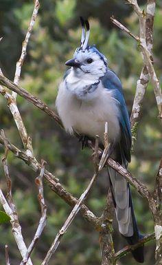 Magpie Jay Exotic Birds, Colorful Birds, Pretty Birds, Beautiful Birds, Focal Point Photography, World Birds, Owl Bird, Birds Of Prey, Glass Birds
