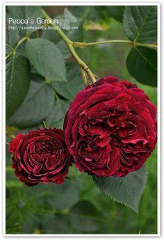 Falstaff - Shrub, dark red, very full, 2000, rated 7.5 (good) by ARS.
