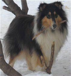 looking for a collie? excellant breeder! beautiful animals!!