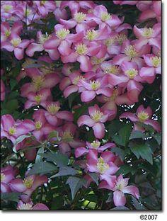 Clematis montana var. rubens 'Freda'