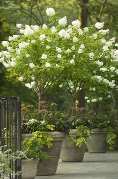 Up a Tree - 29 Ways to Grow Hydrangeas in Containers - Southernliving. This panicle hydrangea, Hydrangea paniculata 'Limelight', makes for a stunning container when planted in its single-stem, tree-shrub form. Hydrangea Paniculata, Hydrangea Potted, Smooth Hydrangea, Hortensia Hydrangea, Limelight Hydrangea, Hydrangea Not Blooming, Container Plants, Container Gardening, White Gardens
