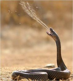 A spitting cobra is one of several species of cobras that have the ability to eject venom from their fangs when defending themselves against predators. The sprayed venom is harmless to intact skin. Photo: ツ Amazing Facts & Nature ツ Les Reptiles, Reptiles And Amphibians, Mammals, Wildlife Photography, Animal Photography, Beautiful Creatures, Animals Beautiful, Poisonous Snakes, Scary Snakes