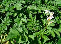 """How do you know when potatoes are ready to harvest? Once your potato plants have flowered, you can start to """"bandicoot"""" for new potatoes. Bandicooting = gentling digging around the potato plants with your hands to harvest potatoes near the surface without disturbing the plant or pulling it out."""