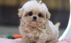 Available Puppies | Foufou Puppies Teacup Maltipoo For Sale, Toy Maltipoo, Pomeranian For Sale, Maltipoo Puppies For Sale, Teacup Puppies For Sale, Tiny Puppies, White Toy Poodle, Puppy Love, Your Pet