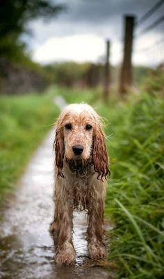 Cocker Spaniel coming in from a Spring rain. Awwww...