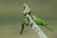 monk parakeet (photo by jquental)