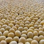 Soybean / Top 10 Non Dairy Calcium Rich Food - http://www.buildhealthybody.com/top-10-non-dairy-calcium-rich-foods/