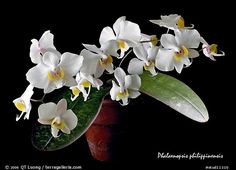 Phalaenopsis philippinensis. A species orchid (color)