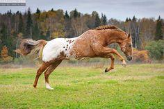Wild Chestnut Appaloosa Mustang Stallion Feeling the 'Spring of Life'.