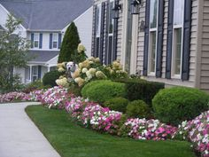foundation planting-the brightly colored flower hedge is fantastic! I wonder what they are?