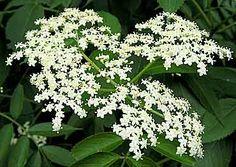 Elderberry Flowerhead.........medicinal, edible plants