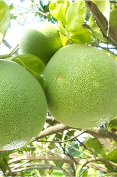 Pomelos Information, Recipes and Facts
