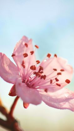 Flower Bloom Branch Spring #iPhone #6 #plus #wallpaper