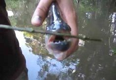 Berita Terkini : Gunting Terbuat Dari Ikan Hidup