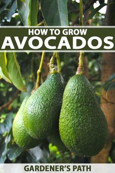 Avocados trees are easier to grow than you may think. If you love avocados and love guacamole even more, read this article from Gardener's Path for tips and tricks for growing this buttery green fruit Fruit Vert, Green Fruit, Fruit Tree Garden, Garden Trees, Container Flowers, Succulent Containers, Container Plants, Gardening For Beginners, Gardening Tips