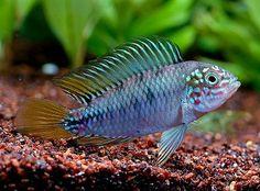 Apistogramma borellii. Mine is a little shy, but such a beautiful fish.