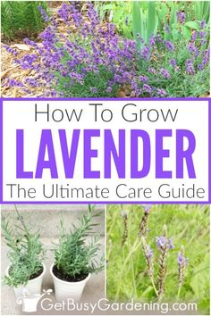 English Lavender Plant, Lavender Plant Care, Spanish Lavender, Potted Lavender, Lavender Garden, Lavender Fields, When To Plant Lavender, Growing Lavender From Seed, Growing Seeds
