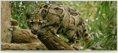 Clouded Leopard at the Zoo! #onlyinnashville