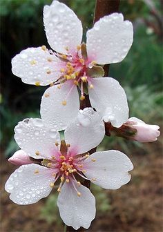 Flowers & Planets: almond blossom flower