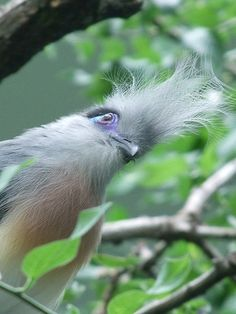 Discovery The World | Crested Coua bird