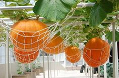 on past experience with growing pumpkins on the ground, I think this is SUCH a good idea.Based on past experience with growing pumpkins on the ground, I think this is SUCH a good idea. Hydroponic Gardening, Hydroponics, Diy Gardening, Organic Gardening, My Secret Garden, Edible Garden, Spring Garden, Hanging Plants, Hanging Gardens
